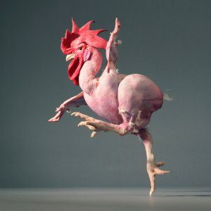 Tim Flachs - Running Chicken